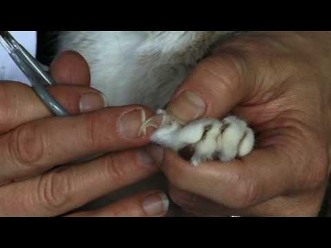 Cat Claw Clipping