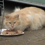Outdoor Cat At Abandoned Foreclosed Property Gets Meal From Feline Rescue